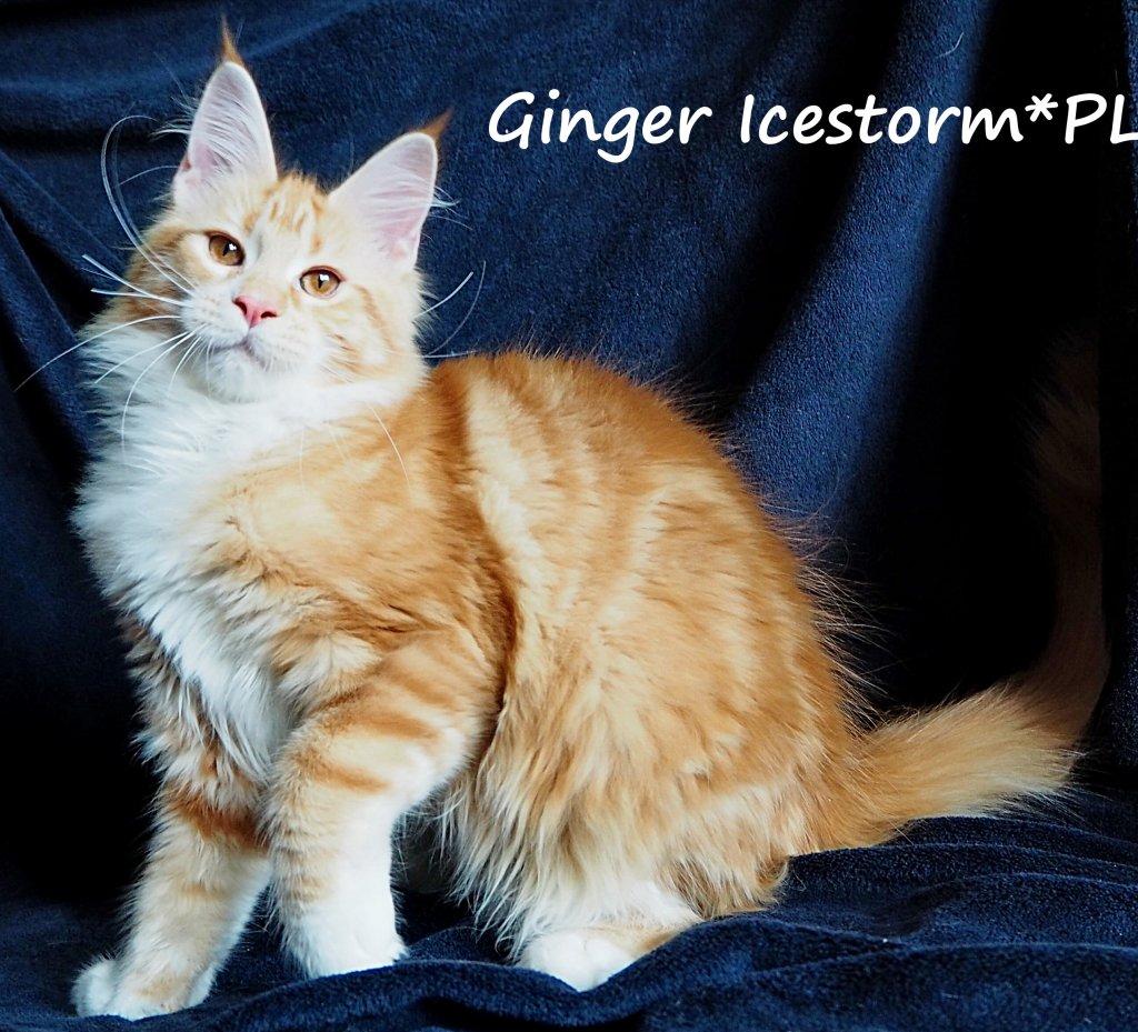 Ginger 111